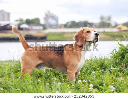 Purebred beagle standing in green grass - stock photo