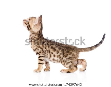purebred Bengal cat in profile looking up. isolated on white background - stock photo