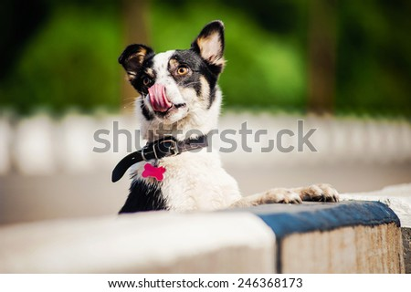 purebred black and white dog licked her nose in summer - stock photo