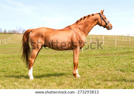 Purebred braided chestnut stallion standing on pasturage. Exterior image with side view. Summertime outdoors. - stock photo