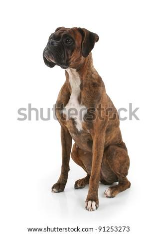 Purebred Brindle Fur Boxer Dog - stock photo