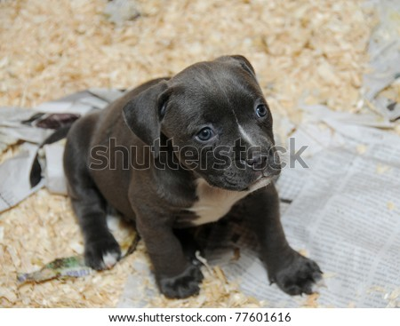 Purebred Canine American Bully Puppy in Whelping Litter Box Sitting Looking Away Razors Edge Breed - stock photo