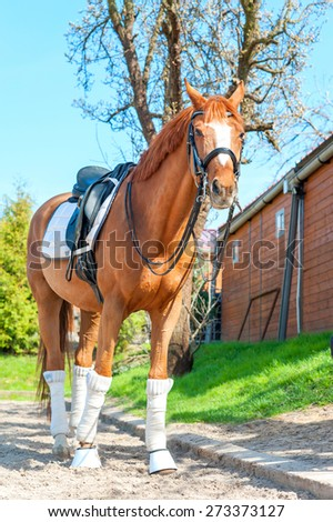 Purebred chestnut stallion in bandages standing and waiting on pasturage. Multicolored summertime exterior image. - stock photo