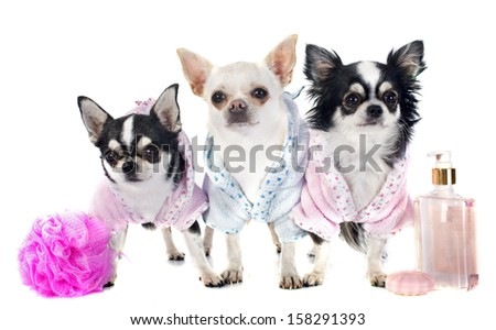 purebred chihuahuas after the bath in front of white background - stock photo