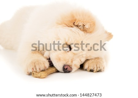 Purebred chow chow puppy with a bone close-up - stock photo