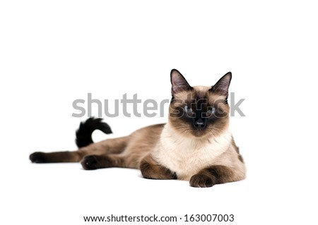 Purebred cute siamese cat lying studio shot - stock photo