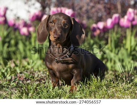 purebred dachshund - stock photo