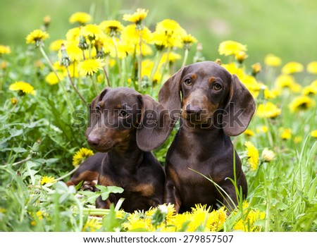 purebred dachshund and dandelions - stock photo