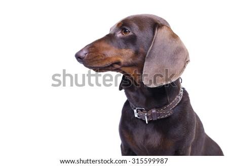 purebred dachshund dog - stock photo