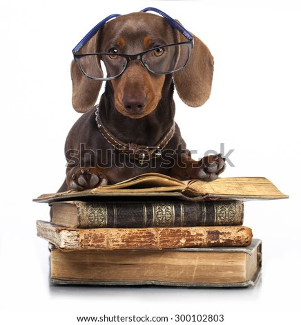 purebred  dachshund dog  in glasses and book - stock photo