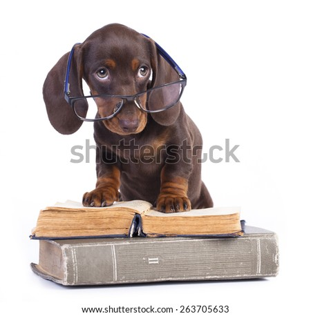 purebred dachshundr in glasses and book - stock photo