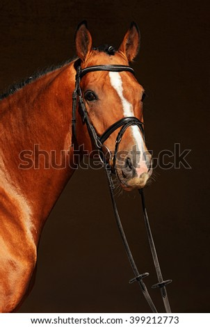 Purebred dressage horse, portrait of a bay stallion with bridle  - stock photo