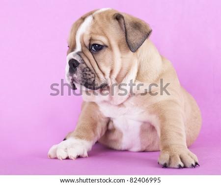 purebred english Bulldog - stock photo