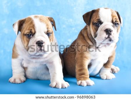purebred english Bulldog puppies - stock photo