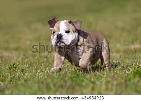 Purebred English Bulldog puppy Moving Toward The Camera Wrinkled Face Close Up - stock photo