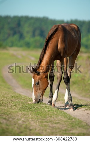 purebred foal is eating grass in summer pasture - stock photo