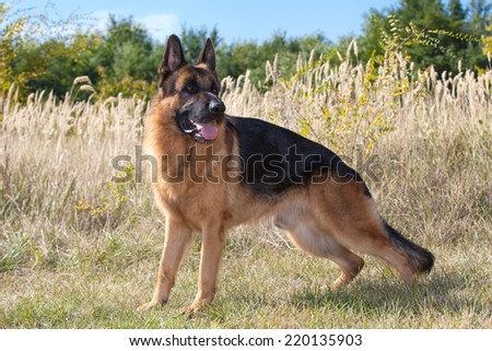purebred  German Shepherd Dog - stock photo