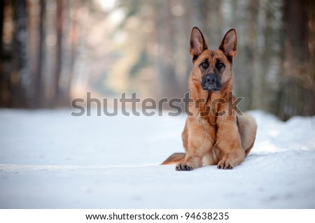purebred german shepherd portrait - stock photo