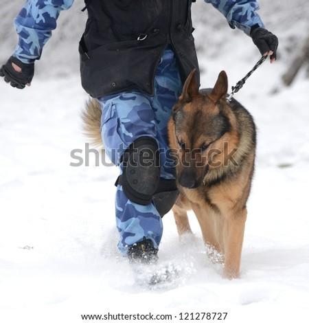 purebred german shepherd training in the snow - stock photo