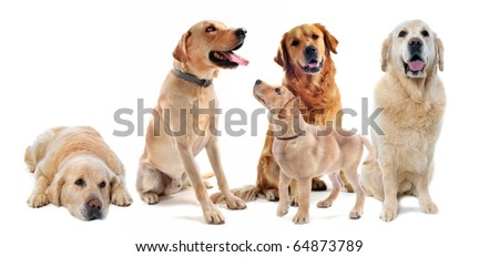 purebred golden retriever and labrador retriever in front of a white background - stock photo