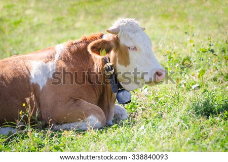 Purebred Hereford cow with bell lying on fresh green grass of Alps sunlight pasture meadow - stock photo