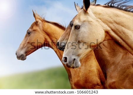 purebred horses closeup in field. small depth of field - stock photo