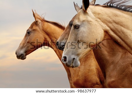 purebred horses closeup in sunset. small depth of field - stock photo