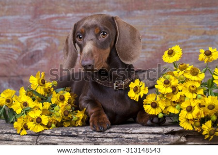 purebred miniature dachshund and flowers chamomile - stock photo