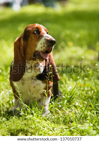 Purebred perfect dog Basset Hound sitting in the grass - stock photo