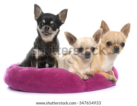 purebred puppies chihuahua in front of white background - stock photo