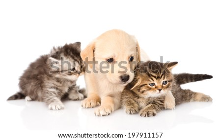 purebred puppy dog and two scottish kittens lying in front. isolated on white background - stock photo