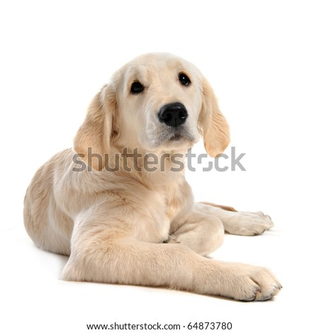 purebred puppy golden retriever in front of a white background - stock photo