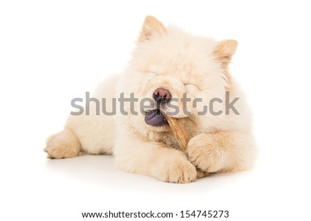 Purebred puppy with bone isolated - stock photo