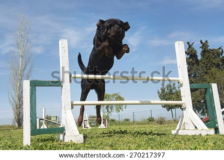 purebred rottweiler in a training of agility - stock photo