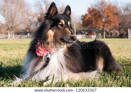 Purebred Rough Collie on a Leash - stock photo