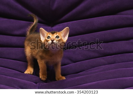 purebred ruddy Abyssinian kitten on the violet background looking up scared and wondering  - stock photo