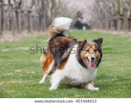 Purebred Shetland Sheepdog outdoors in the nature on grass meadow, the moment of rushing - stock photo