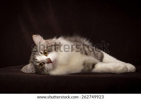 purebred Siberian cat lying on dark brown background. - stock photo