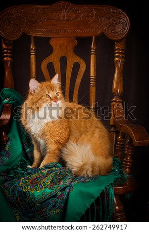purebred Siberian cat sitting on a chair. - stock photo