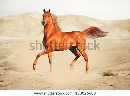 Purebred white arabian horse in desert - stock photo