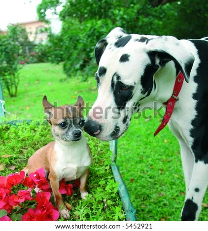 Purebreed chihuahua making friends with a purebreed great dane dog - stock photo