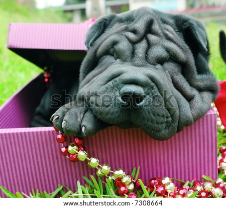 Purebreed shar pei puppy as a christmas present - stock photo