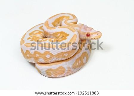 Purple Albino Ball Python on white background. - stock photo