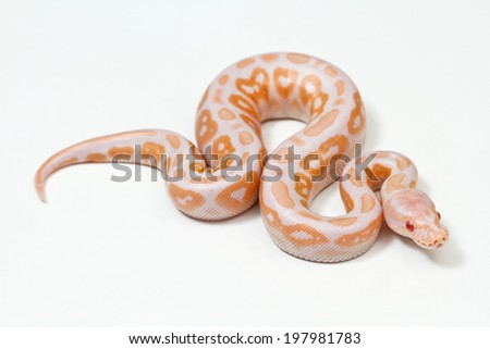 Purple Albino Ball Python on white background. - stock photo