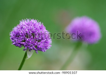 Purple Allium blossom in front of green background, with another blurry blossom in the background. - stock photo