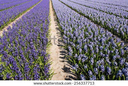 Purple and blue flowering hyacinths in the field of a Dutch nursery on a sunny day in springtime. - stock photo