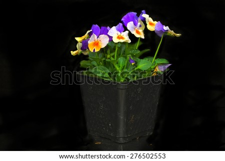 Purple and peach colored pansies in pony pack on black background - stock photo