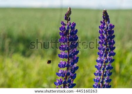 Purple and white lupine field close-up view. Selective focus flowers image with bumblebee flying. Lupine flowers with bokeh. - stock photo