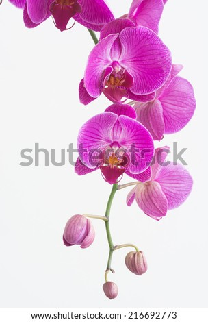 Purple and white Moth orchids and buds close up  - stock photo