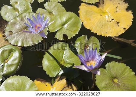 Purple and yellow water lilies on a background of water and the yellow and green leaves - stock photo